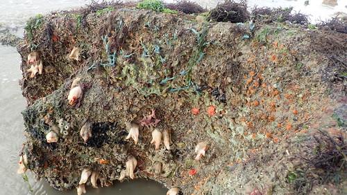 Living rocky shore at Pulau Ubin South