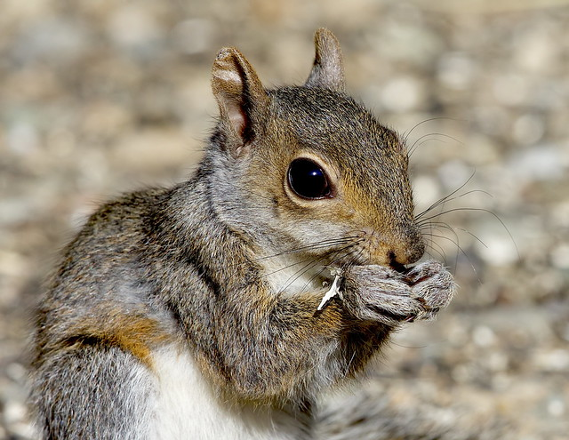 A very young, Western Gray Squirrel (Sciurus griseus) has learned that it's