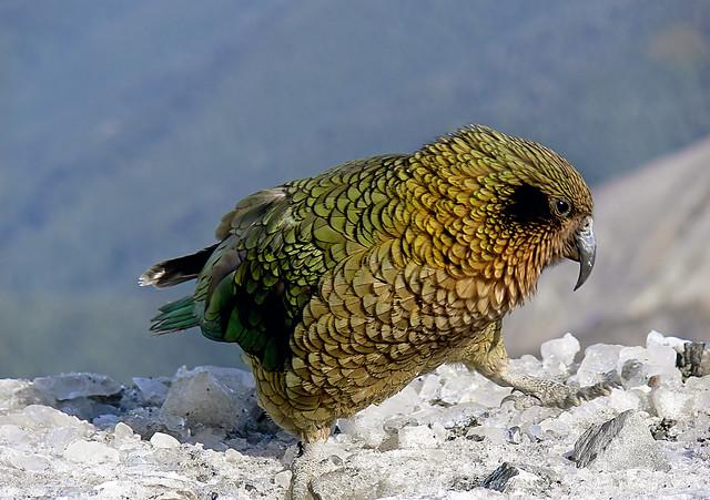 Kea. NZ Alpine parrot.