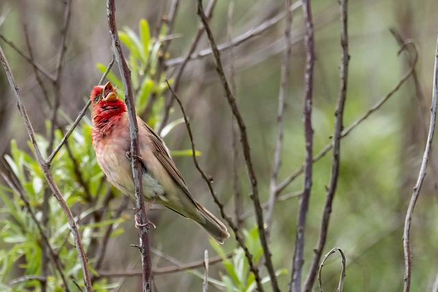 singender Karmingimpel (Carpodacus erythrinus)