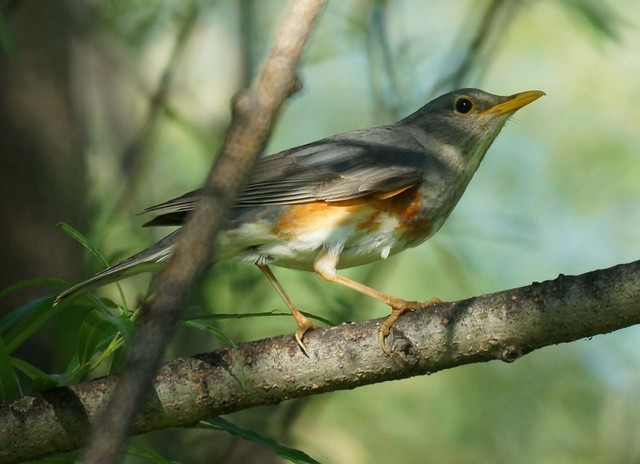 Grey-backed Thrush, Turdus hortulorum, Сизый дрозд