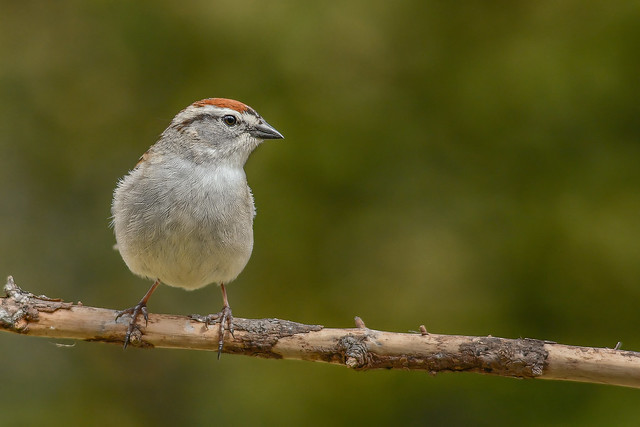 Bruant familier/Chipping sparrow