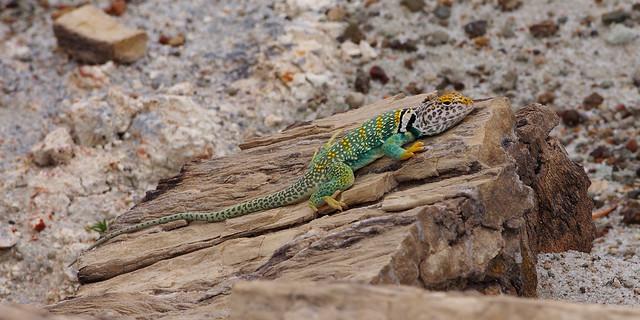 Eastern Collared Lizard (Crotaphytus collaris).  Petrified Forest National Park.  Arizona, USA.