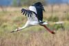 Cigueña americana - Maguari stork by Diego Kondratzky
