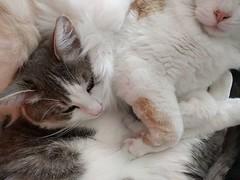 Knuf en Pluis #fluffy #cats #catsofinstagram #catsitting