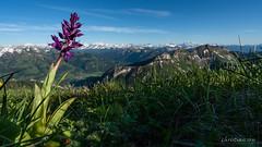 L'orchidée du Moléson (Switzerland)