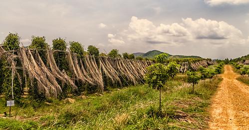 Poivre de Kampot - La plantation | StefSup | Flickr
