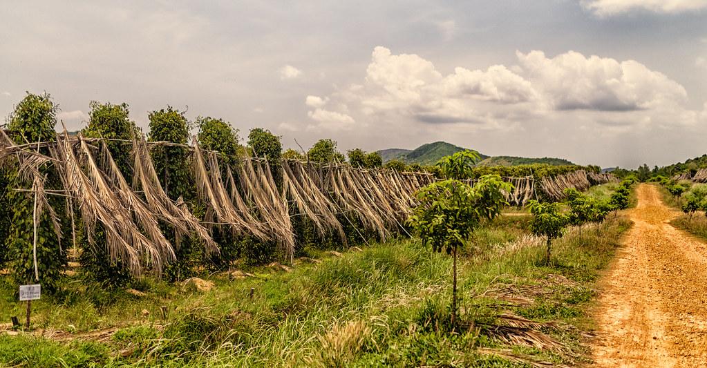 Poivre de Kampot - La plantation
