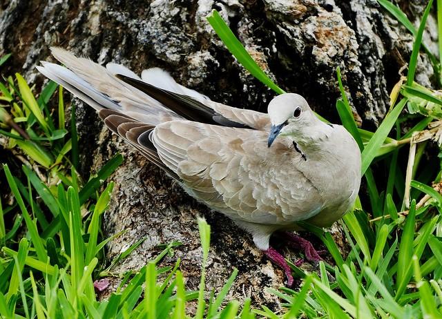 Eurasian Collared Dove (Streptopelia decaocto)