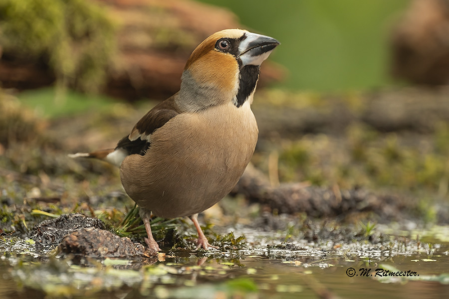 Appelvink / Coccothraustes coccothraustus