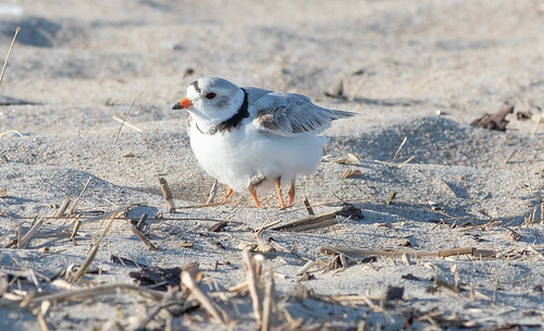 Piping Plover parent and chick