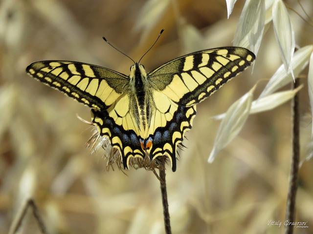 Old World Swallowtail.