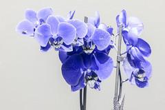 Orchidaceae - UV