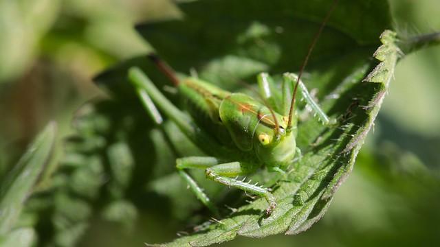 Saber grasshopper.  (Sabelsprinkhaan)