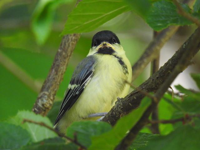 Great Tit (Parus major) juvenile