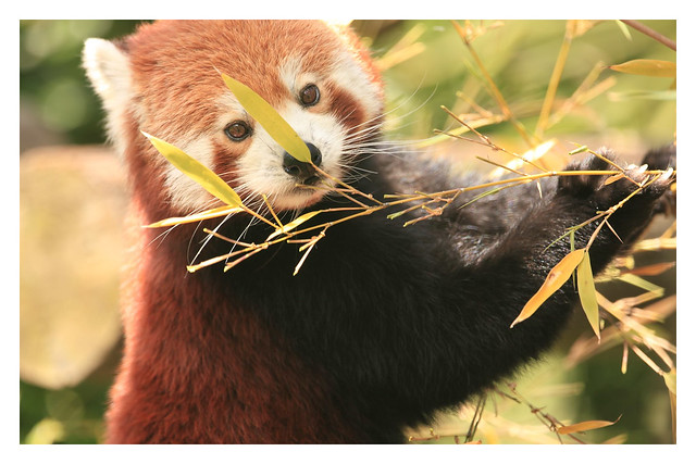 Red Panda ( Ailurus fulgens)