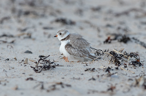 Piping Plover mother and chick