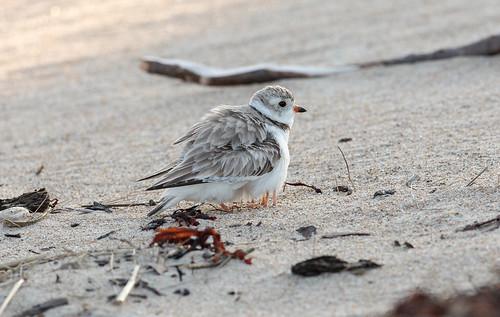 Piping Plover mother and chicks