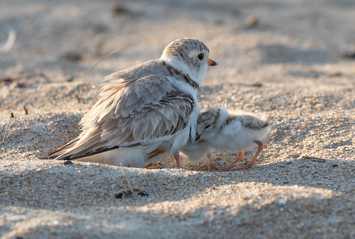 Piping Plover mother and three chicks