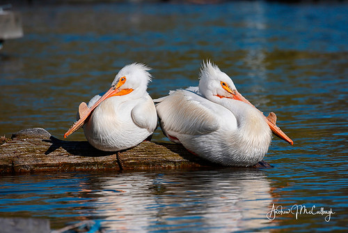 White Pelicans Taking a Break. | by Let there be light (A.J. McCullough)
