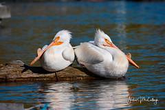 White Pelicans Taking a Break.