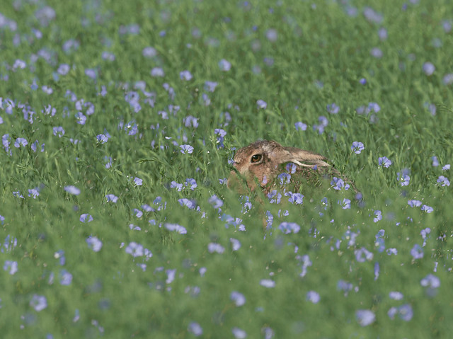 Hare-in-flax_6333