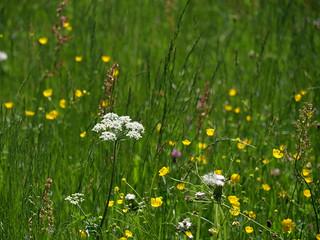 flowers on a mountain meadow (3)