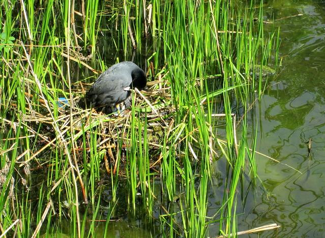 Nesting Bird by Kastellet, Copenhagen