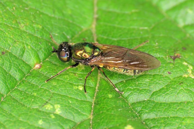 Broad Centurian - Chloromyia formosa