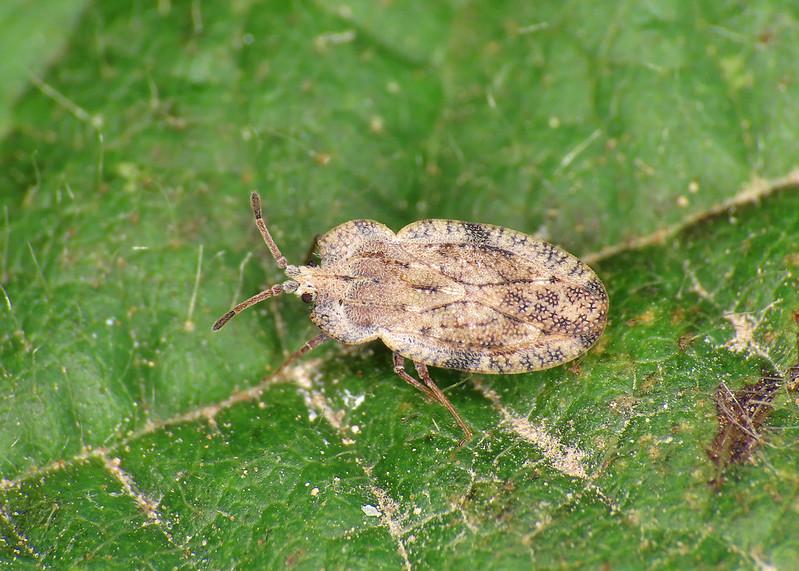 Creeping Thistle Lacebug - Tingis ampliata