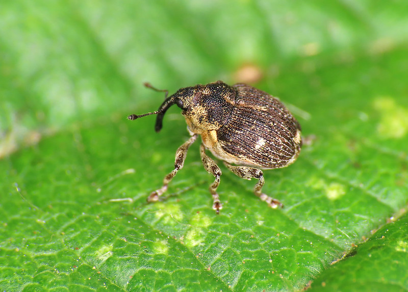 Small Nettle Weevil - Nedyus quadrimaculatus
