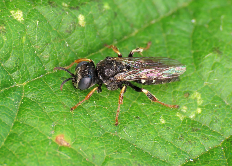 Common Spiny Digger Wasp - Oxybelus uniglumis