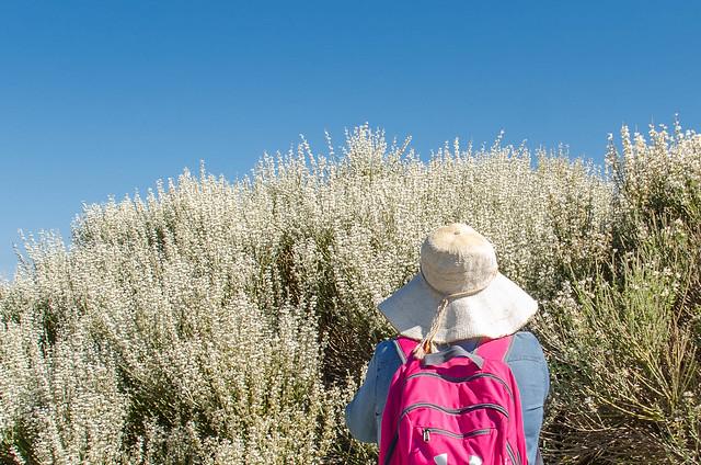 Retama del Teide en flor