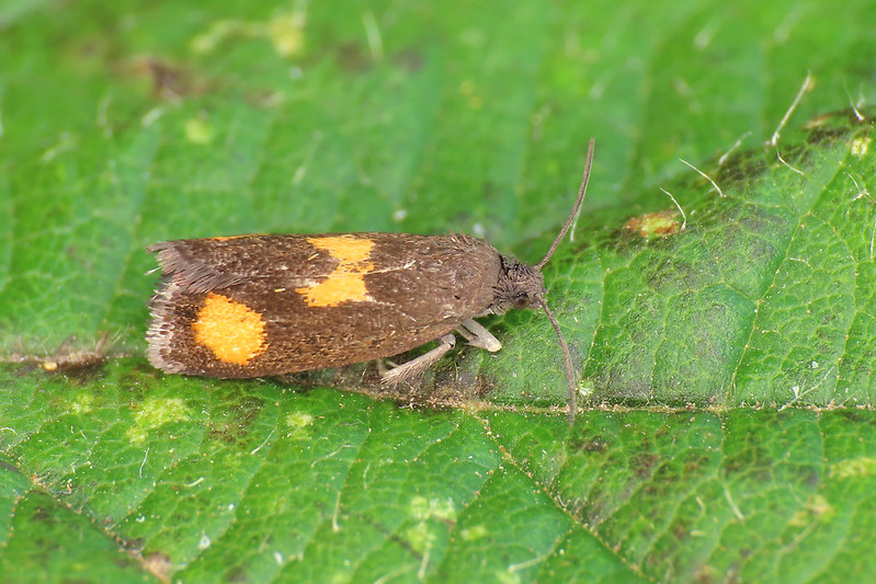 49.379 Orange-spot Piercer - Pammene aurana