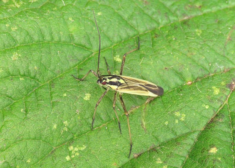 Meadow Plant Bug - Leptopterna dolabrata