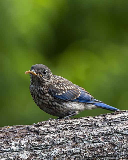 Bluebird_5125