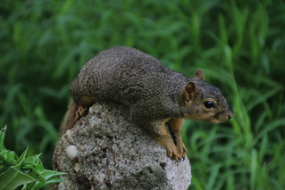 Squirrel Holding a Rock Down