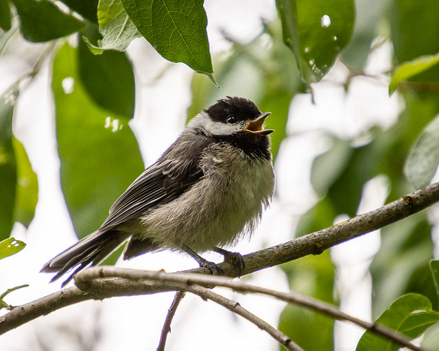Chickadee singing