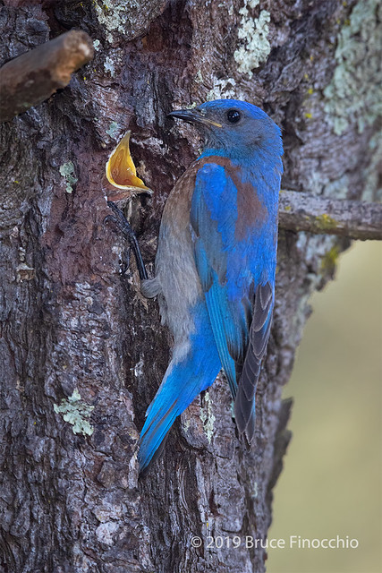 Male Western Bluebird At Nest Entrance With Young Opening Its Mouth Wide