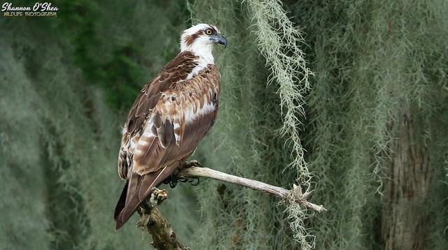 Mossprey