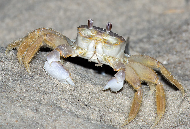 Atantic Ghost Crab
