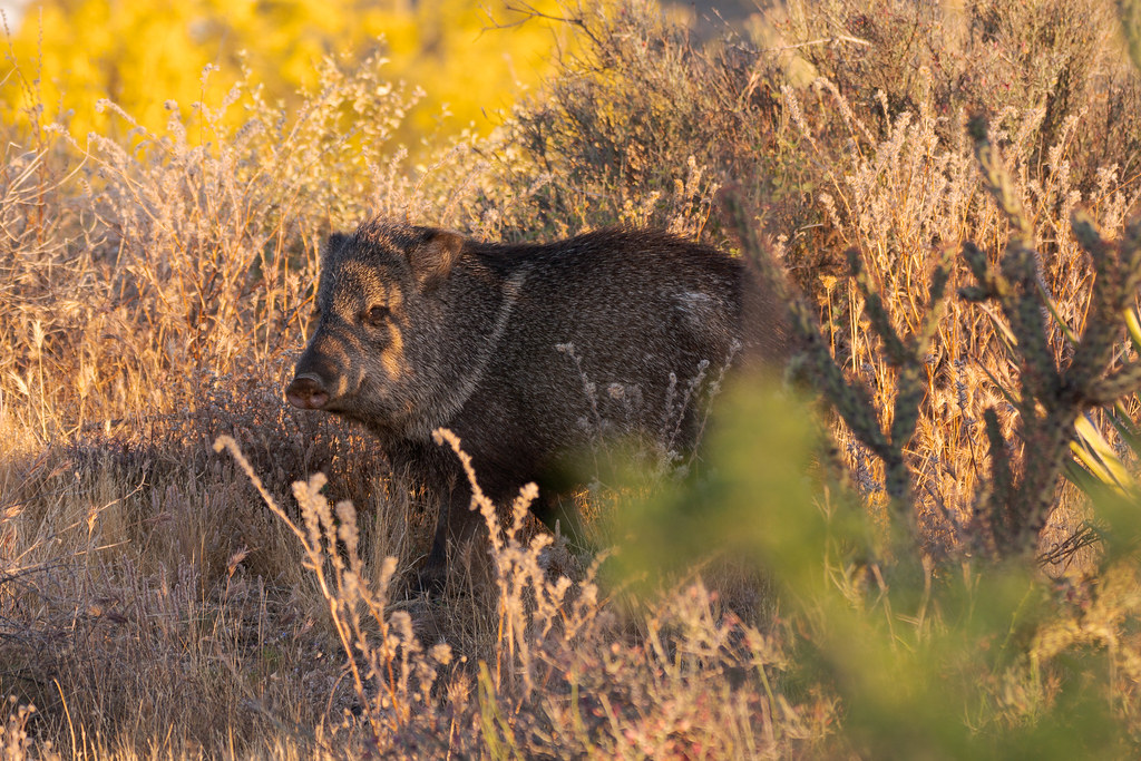 A javelina (collared peccary) walks through the desert near the Latigo Trail in McDowell Sonoran Preserve in Scottsdale, Arizona in May 2019
