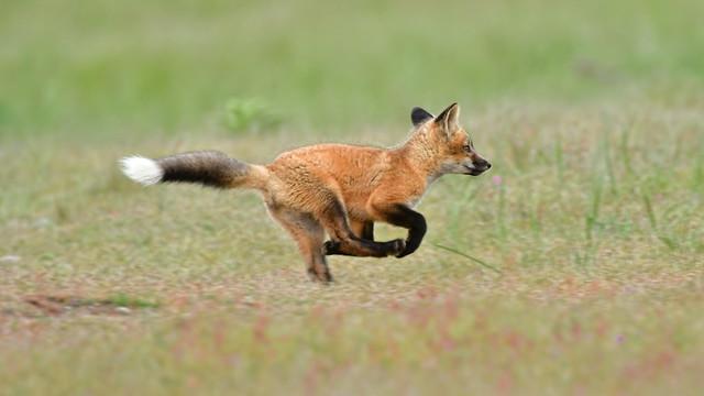 flying fox . . .