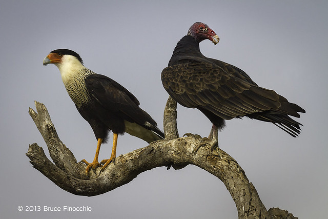 Northern Carcara and Turkey Vulture Share The Same Perch