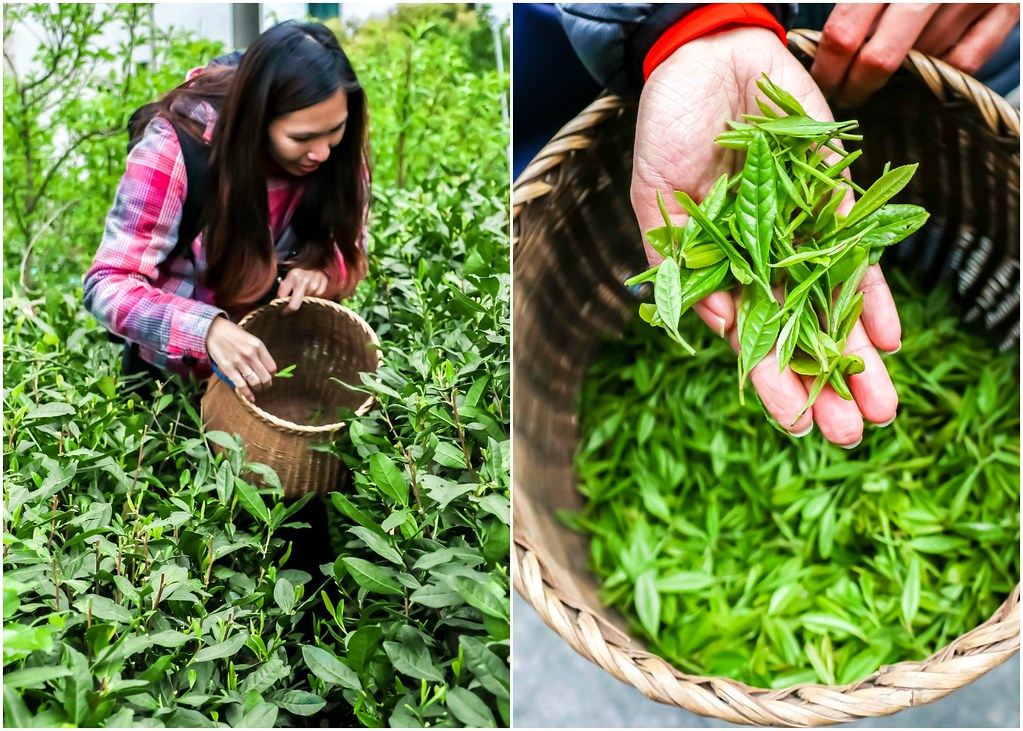 hangzhou-longjing-tea-picking-alexisjetsets