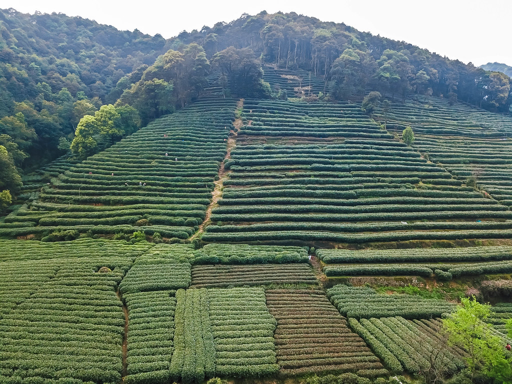 hangzhou-tea-picking-alexisjetsets-24