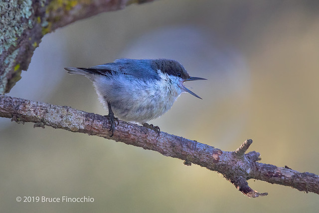 Pygmy Nuthatch Calls Out While Perched On A Pine Branch