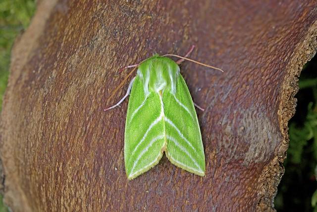 Green Silver-lines, Roudsea, Cumbria, England