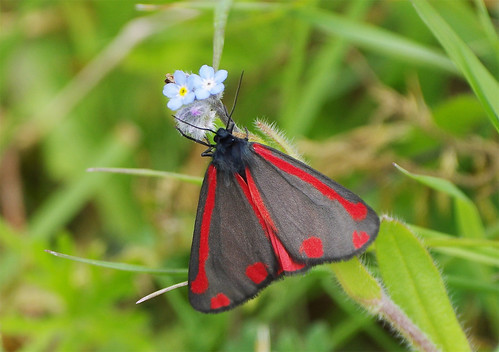 paxtonpits cambridgeshire wild wildlife nature moth insect cinnabar tyriajacobaeae