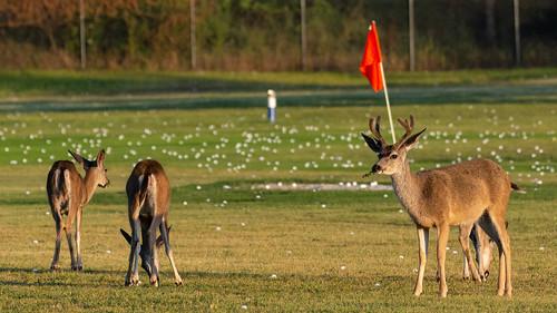 Deer on the Driving Range